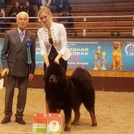 our Mastiff Junior Champion of Belarus