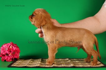 Chardash ot Pandy Sharm direct answer on a question where to buy a king charles spaniel