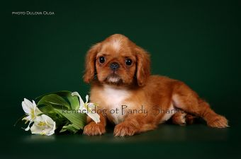 perfect king charles spaniel puppy