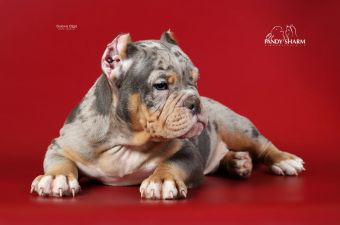American exotic bully boy for sale
