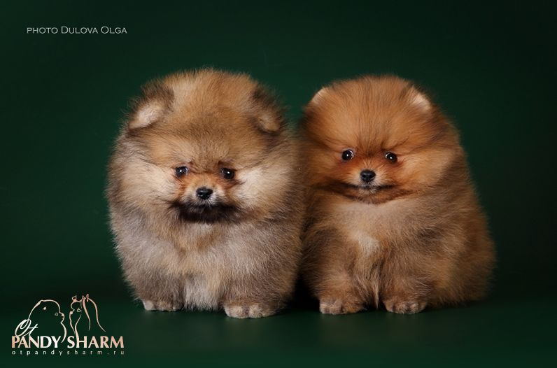 Pomeranian Personality Grooming Size And Wight