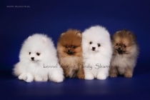 pomeranian spitz puppies for sale