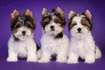 Biewer yorkshire terrier for sale from reputable breeder
