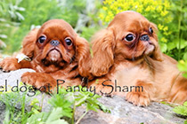 Sell King Charles Spaniel puppy