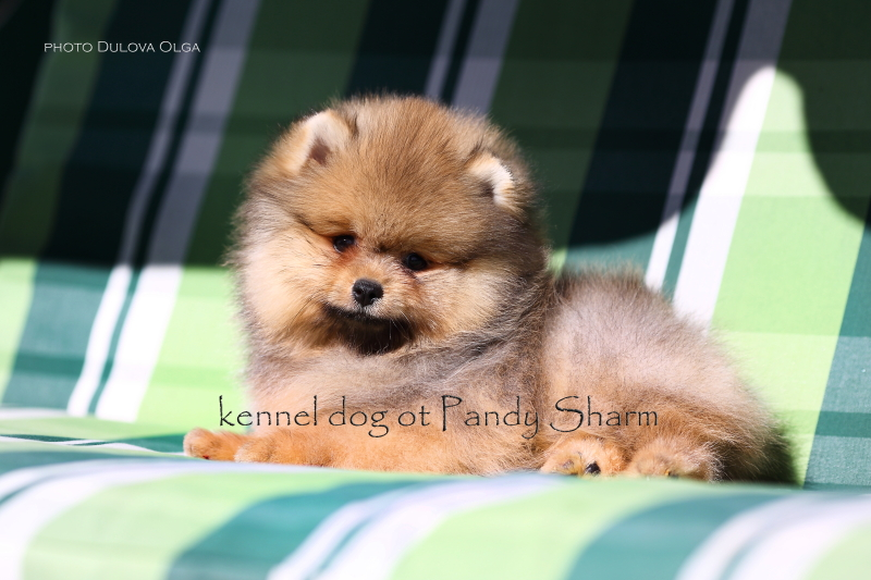 Seizyerg Boss ot Pandy Sharm Pomeranian puppy for sale