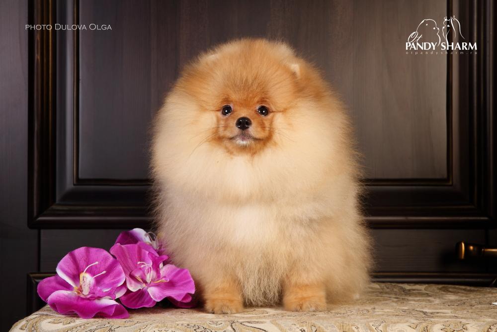 Pomeranian Me Sparky Junior ot Pandy Sharm - English version